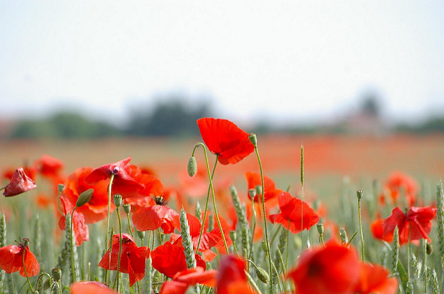 Coquelicots (c) Jean Louis Gandon CC BY-NC-ND 2.0