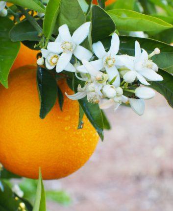 Fleurs d'oranger ©Iness_la_lu shutterstock