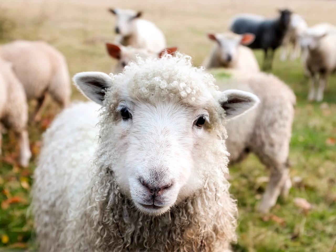 Moutons irlandais (c) TPSDave CC0 Pixabay - public Domain