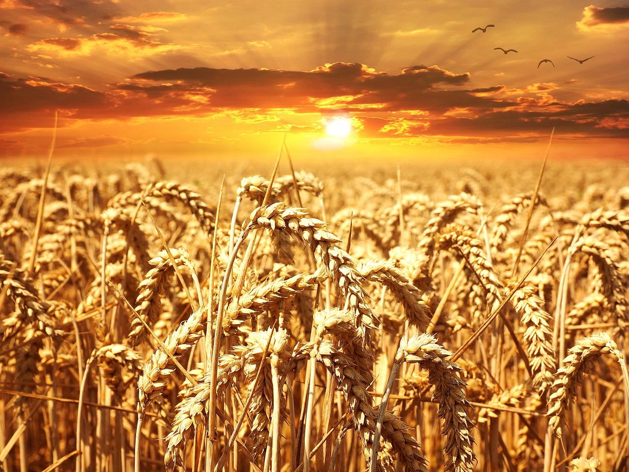 Champ de blé ©Pezibear. CC0 pixabay