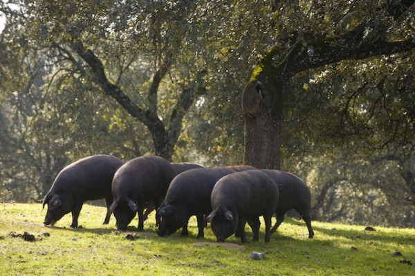 Cochons dans la Dehesa ©rafa sanchez ruiz shutterstock
