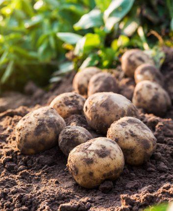 Pommes de terre ©nednapa shutterstock