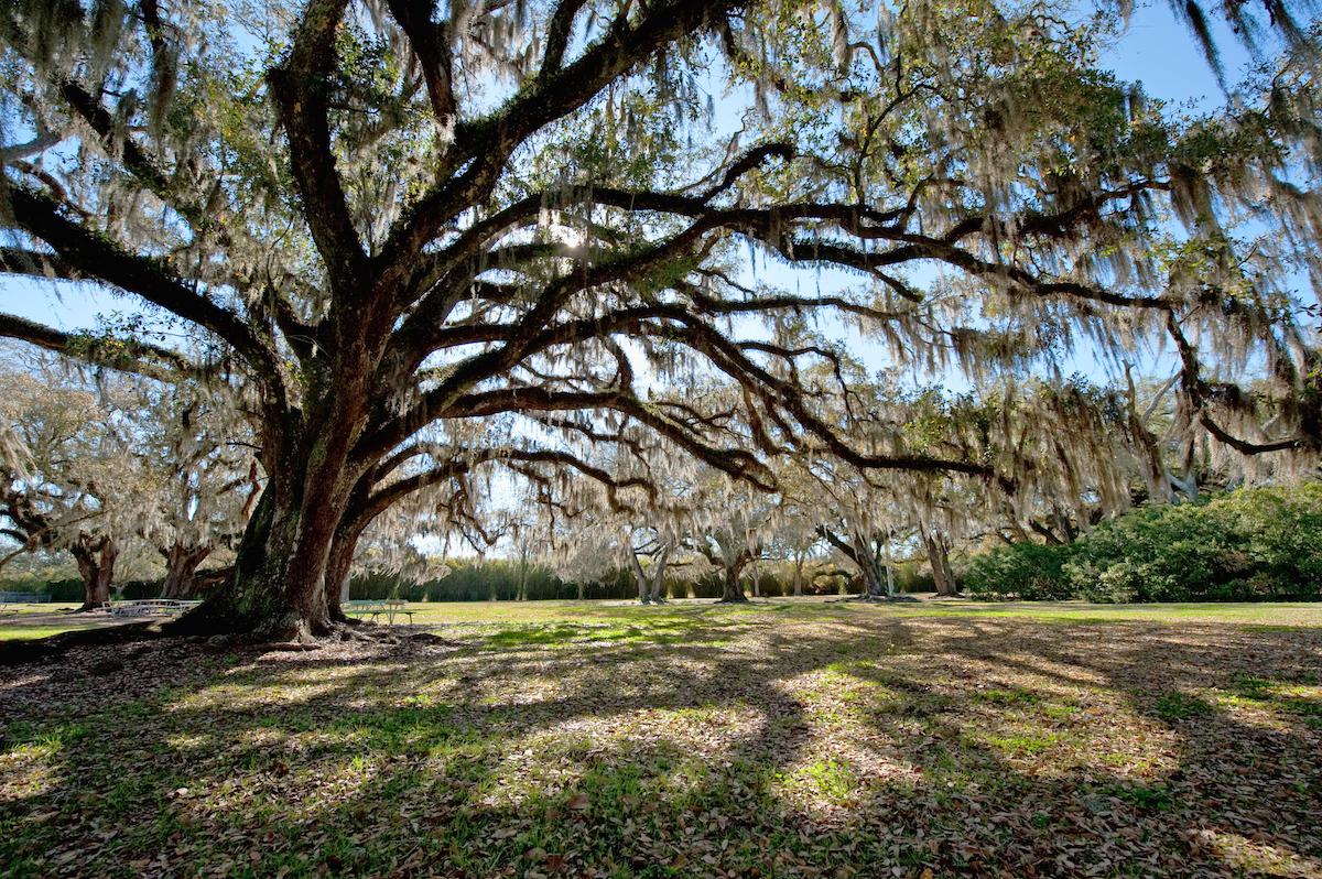 Vieux chêne - Avery Island, Louisiane ©Bonnie Taylor Barry shutterstock