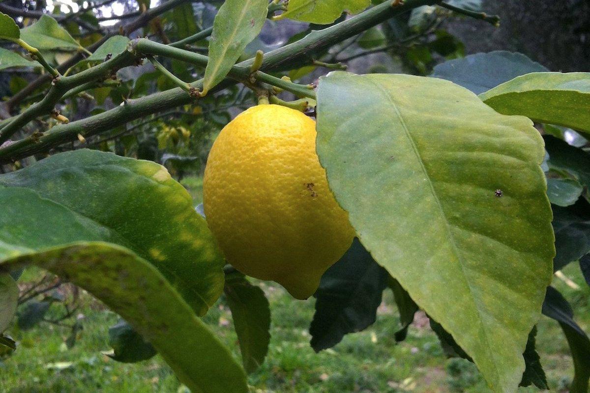 Quand menton f te le citron - Quand cueillir les citrons ...