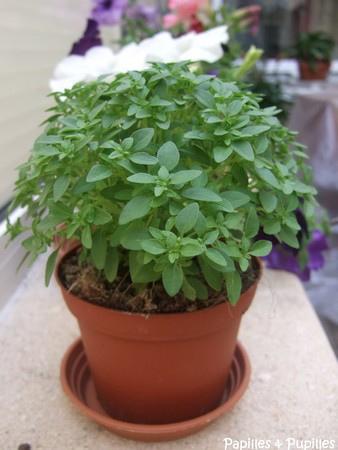 Basilic à petite feuilles