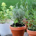 Herbes aromatiques en pots ©De Shebeko shutterstock