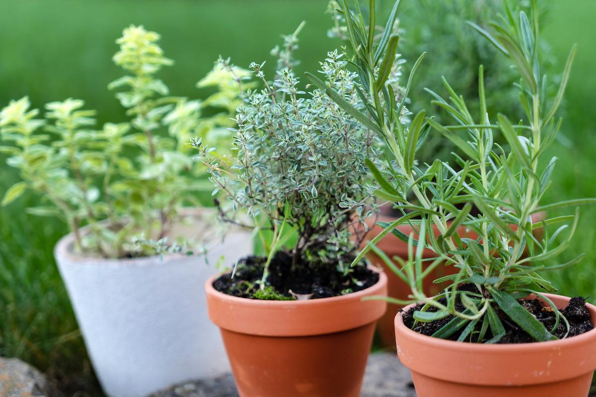 Planter Herbes Aromatiques Jardiniere herbes aromatiques : découvrez les plus courantes