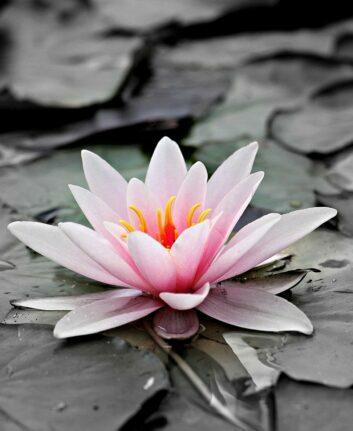 Rose ©. Hermann & F. Richter de Pixabay