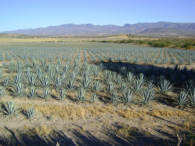 Agaves (c) Amante Darmanin CC BY 2.0