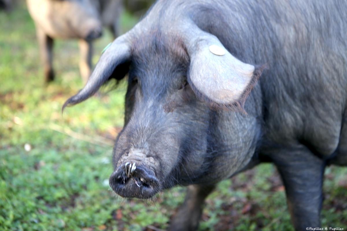 Cochon - Espagne