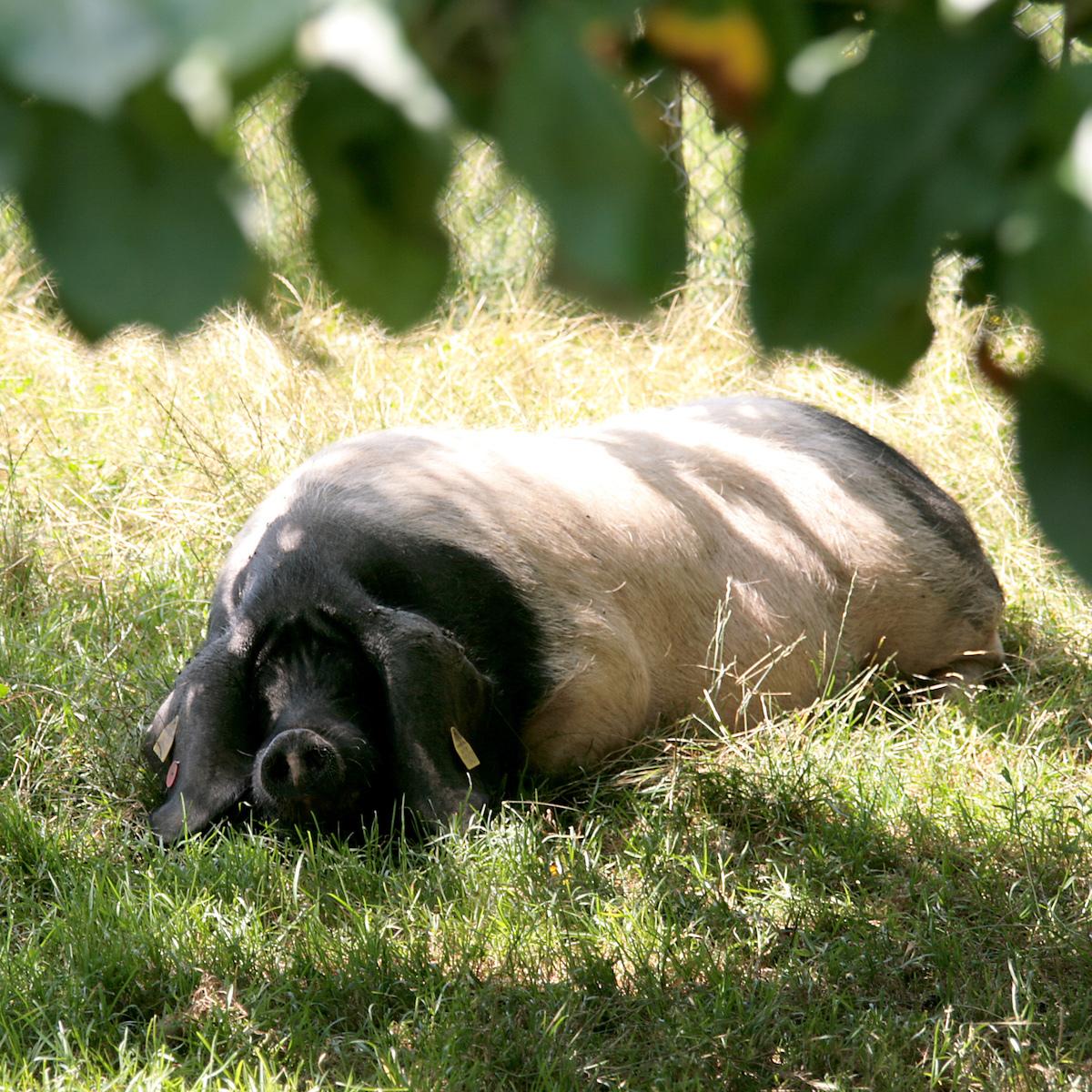 Porc basque©Philippe Derynck
