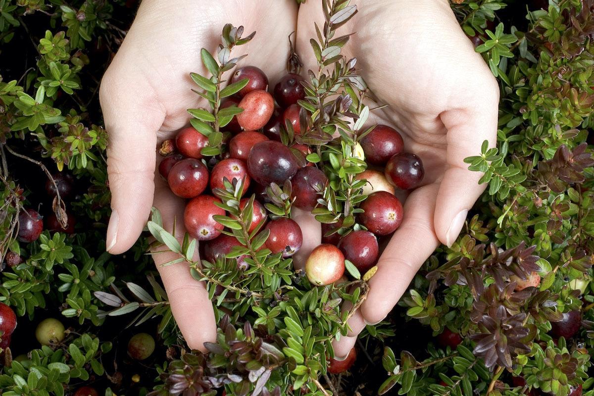 Cranberries dans les mains