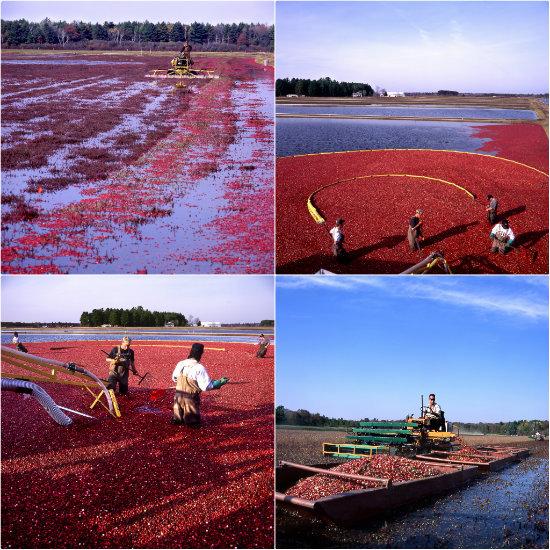 Récolte des cranberries (avec eau)