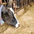 Vache ©Bohbeh shutterstock