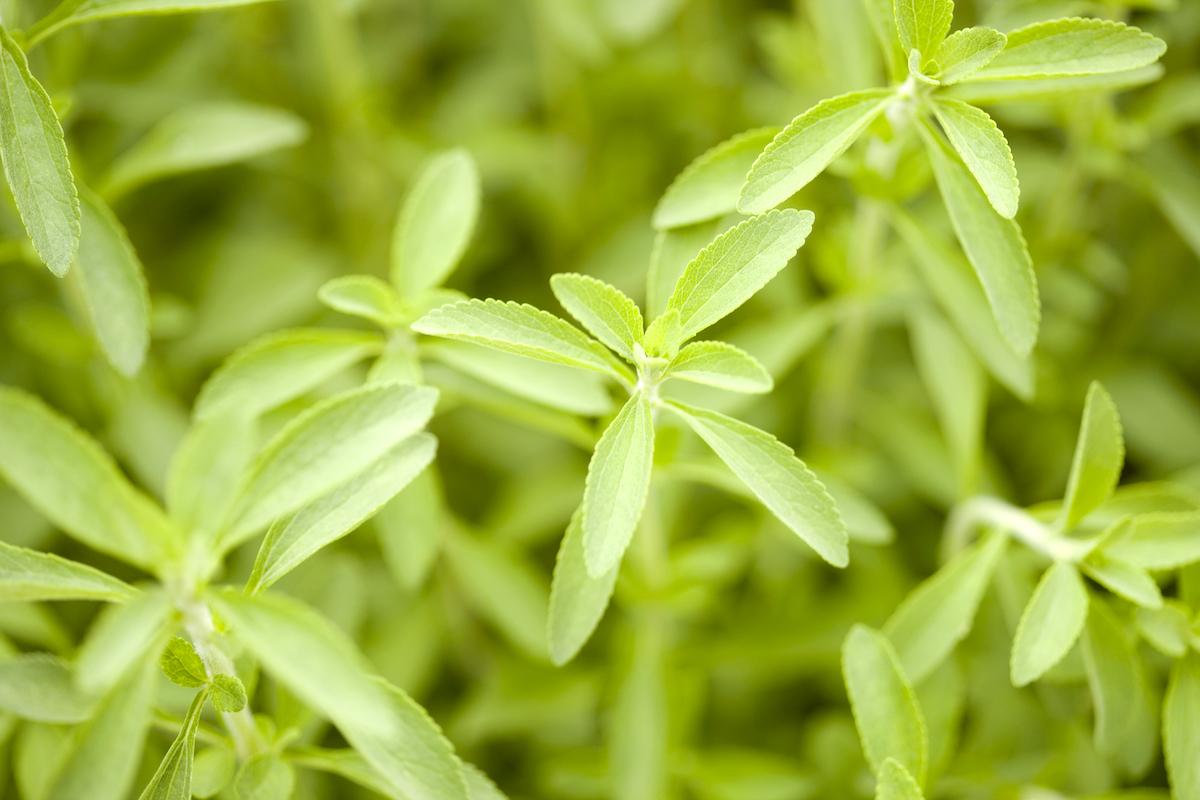 Stevia ©KPG_Payless shutterstock