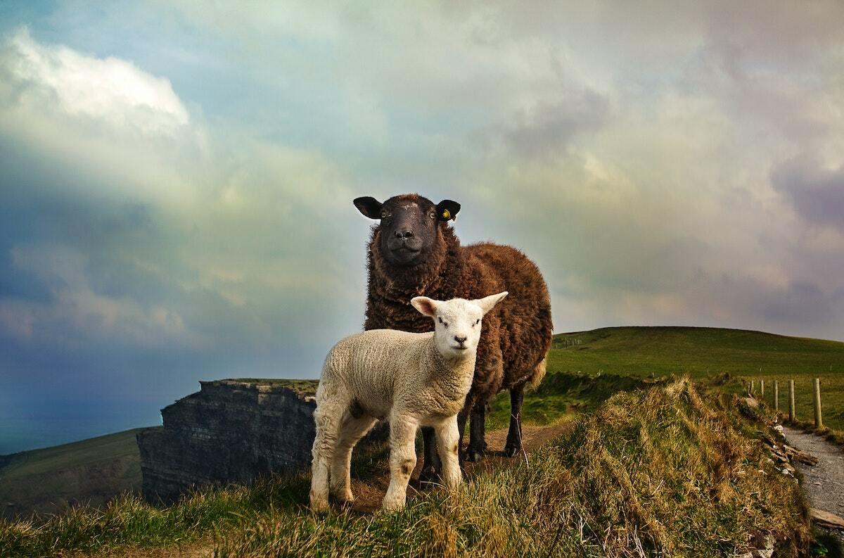 Moutons ©megan-johnston unsplash