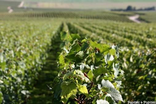 Vignes - Veuve Clicquot - Verzy