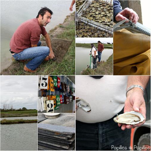 Affinage des huîtres dans les claires