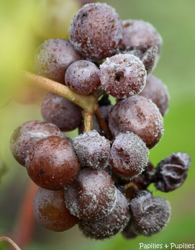 Pourriture noble - Le Botrytis - Sauternes