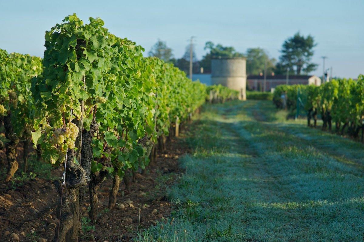 Vignes - Château Coutet - Barsac