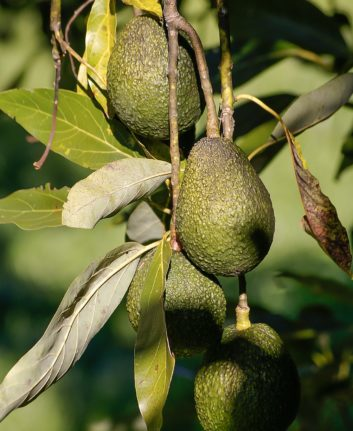 Avocats ©sandid CC0 Pixabay