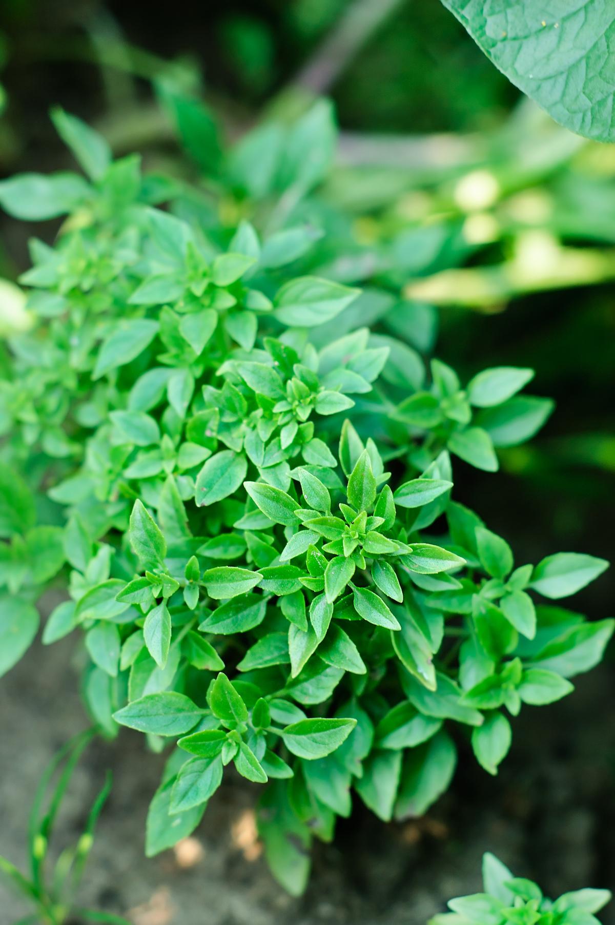 Basilic à petites feuilles ©Katerina Belaya. shutterstock