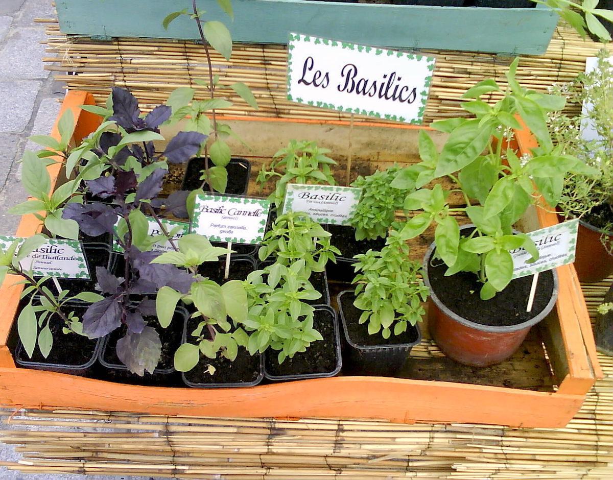 Basilic - différentes variétés