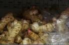 Racines de Galanga (frais)
