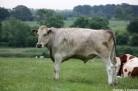 Vache dans le pré
