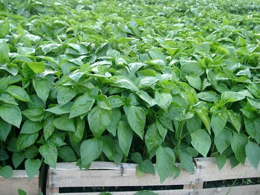 Plants de piment avant plantation en plein champ