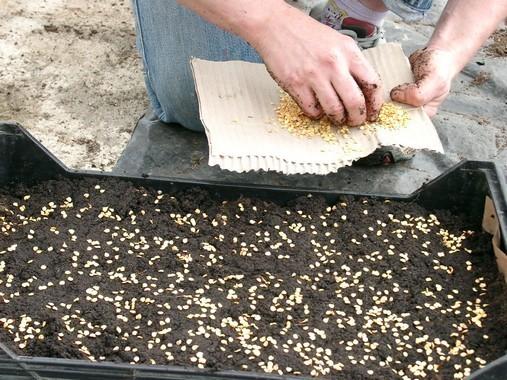 Semis de piment d'Espelette