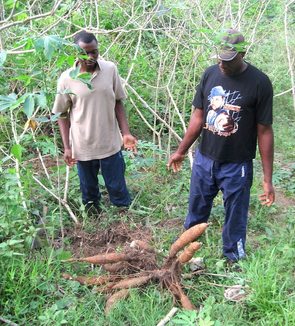 On déracine les racines de manioc ©Joel Abroad licence CC BY-NC-SA 2.0