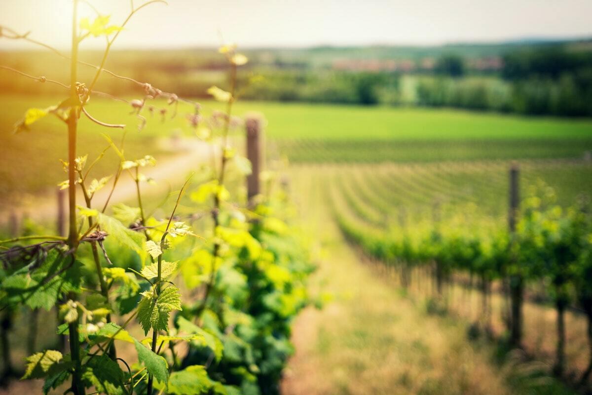 Vignes Bordeaux ©Ales Maze on Unsplash