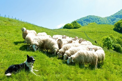 Brebis et chien de berger - Pays Basque