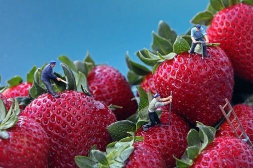 Dans les fraises