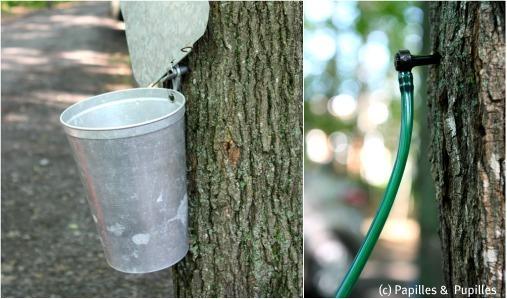 Comment collecter l'eau d'érable
