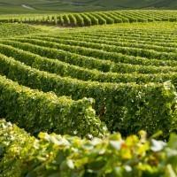 Vignes - Champagne