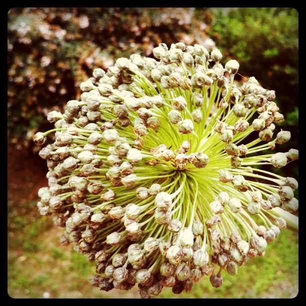 Fleur de poireaux