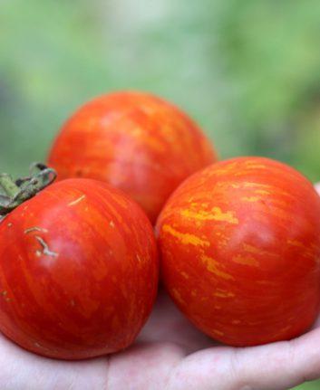 Tomates Red Zebra