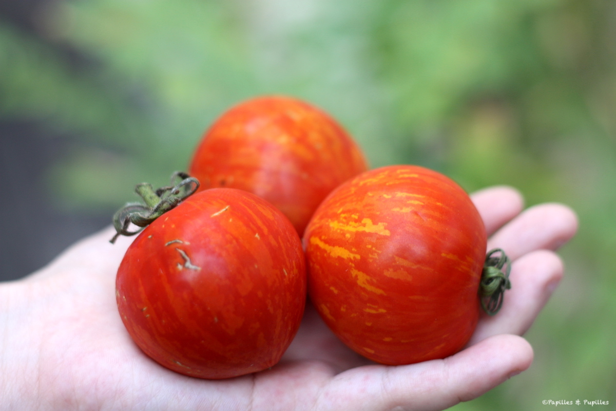 Tomates Red Zebra