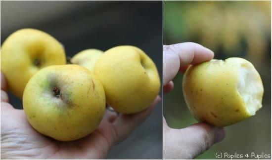 Pommes Reinettes Dorées - Origine Lot et Garonne