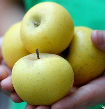 Pommes reinettes dorées