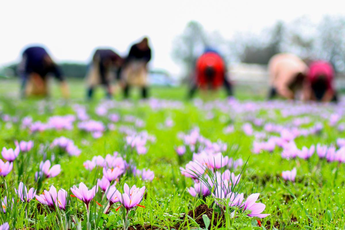 Récolte du safran ©Gts shutterstock