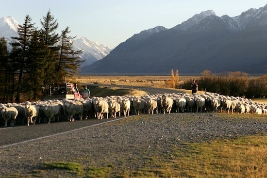 moutons - NZ