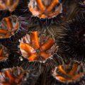 Oursins ©Sabino Parente shutterstock