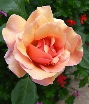 Rose de Vence ©Manolita Maiti