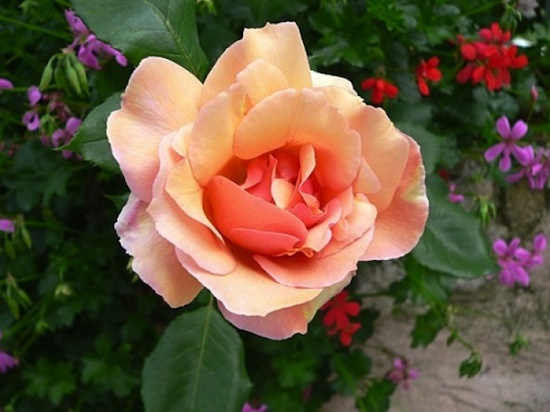 fleurs comestibles - les roses
