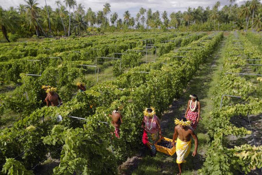 Vins de Tahiti - Vendanges