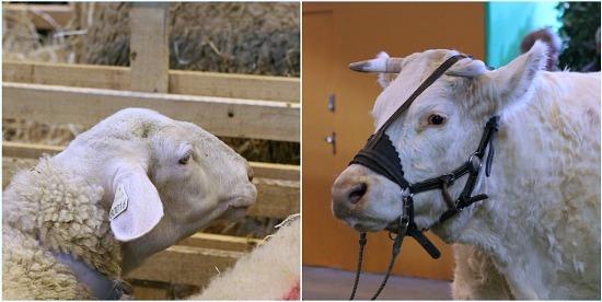 Mouton et vache