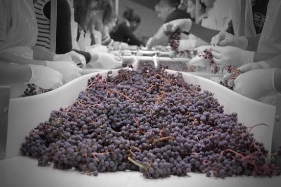 Tri des grains pour le vin rouge ©Château Pape Clément